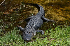 Verletztes Krokodil lizenzfreies stockfoto