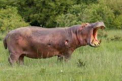 Verletztes Nilpferd, brüllend Stockfotos