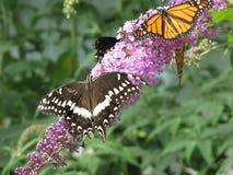 Verletztes schwarzes Swallowtail Stockfoto