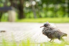 Verletzungsvogelbabyfall von seinem Nest Stockfoto
