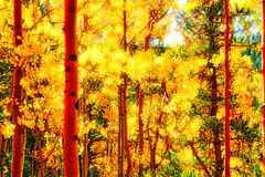 Verlicht Forest Fall Aspens stock foto