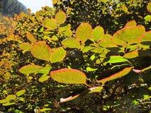 Verlichte bladeren Royalty-vrije Stock Foto's