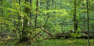 Verlichte de boom van de linde Royalty-vrije Stock Fotografie