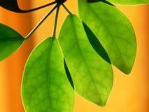 Verlichte groene bladeren Royalty-vrije Stock Fotografie