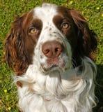 Verloren Hond Royalty-vrije Stock Foto