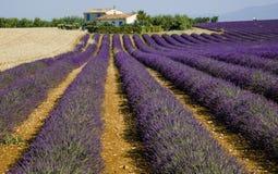 Verloren in Lavendel Stock Afbeelding