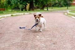 Verlorener Hund, der mit loser Leine auf Boden glücklichem, seinen Eigentümer zu finden geht lizenzfreie stockfotos