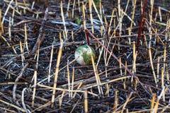 Verlorener oder weggeworfener Baseball, der in eine Wiese an einem Park legt lizenzfreie stockfotografie