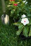 Vermarkten Sie den Satz von Vinca wartend gepflanzt zu werden Stockbild