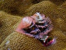 Verme dell'albero di Natale su una barriera corallina Immagine Stock