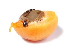 Verme della farina che mangia albicocca isolata Fotografia Stock