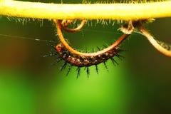 Verme della larva Fotografia Stock