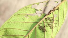 Verme della lumaca o trattori a cingoli delle larve sulla foglia, ? parassita di insetto pericoloso con la malattia vegetale dell archivi video