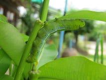 Verme verde Immagini Stock