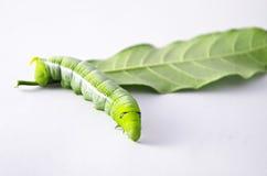 Verme verde con le foglie Fotografie Stock Libere da Diritti