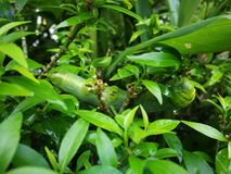 Verme verde della farfalla fotografia stock