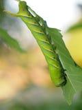 Verme verde sveglio della larva del trattore a cingoli in natura Immagini Stock