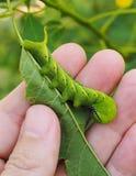 Verme verde sveglio della larva del trattore a cingoli in natura Fotografia Stock