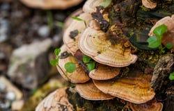 Vermehren Sie sich (Trametes versicolor) auf einen Verrottung gefallenen Baum für Heilung explosionsartig Stockbilder