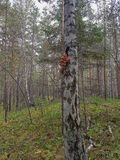 Vermehrt sich Honigblätterpilz im Wald explosionsartig Stockbild