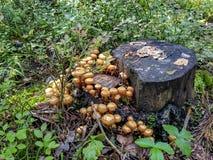 Vermehrt sich Honigblätterpilze in einem Wald auf einem Baum explosionsartig stockfoto