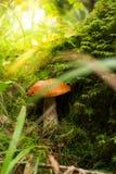Vermehrt sich orange Kappenboletus auf dem Moos im Wald explosionsartig Stockfoto