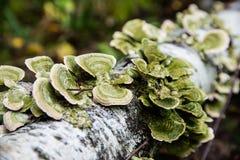 Vermehrt sich trichaptum auf dem Birkenstamm explosionsartig stockbild