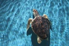 vermelha χελωνών θάλασσας νησιών coroa Bahia Βραζιλία Στοκ φωτογραφία με δικαίωμα ελεύθερης χρήσης