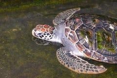 vermelha χελωνών θάλασσας νησιών coroa Bahia Βραζιλία Στοκ Εικόνα