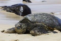 vermelha χελωνών θάλασσας νησιών coroa Bahia Βραζιλία Στοκ εικόνα με δικαίωμα ελεύθερης χρήσης