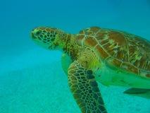 vermelha χελωνών θάλασσας νησιών coroa Bahia Βραζιλία Στοκ εικόνες με δικαίωμα ελεύθερης χρήσης
