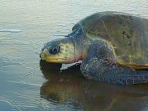 vermelha χελωνών θάλασσας νησιών coroa Bahia Βραζιλία Στοκ Εικόνες