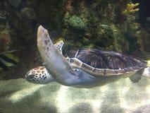 vermelha χελωνών θάλασσας νησιών coroa Bahia Βραζιλία Στοκ Φωτογραφίες