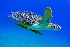 vermelha черепахи моря острова coroa Бахи Бразилии Стоковые Изображения