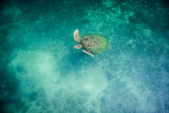 vermelha черепахи моря острова coroa Бахи Бразилии Стоковая Фотография