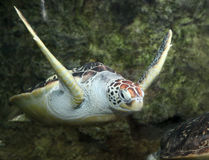 vermelha черепахи моря острова coroa Бахи Бразилии Стоковые Фотографии RF