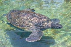 vermelha черепахи моря острова coroa Бахи Бразилии Стоковое Фото