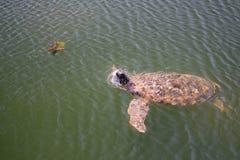 vermelha för sköldpadda för hav för bahia brazil coroaö Arkivfoton