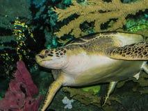 vermelha för sköldpadda för hav för bahia brazil coroaö Arkivbilder