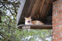 Vermelho adulto - gato branco Gato vermelho de bocejo Imagem de Stock