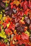 Vermelho, amarelo, folhas do roxo Foto de Stock Royalty Free