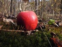 Vermelho Apple da floresta do outono Fotografia de Stock