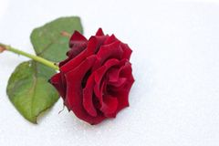 Vermelho aumentou o fundo borrado do bokeh Fundo do Valentim ou do casamento, cartão do dia de Valentim Rosa em um fundo brilhant fotos de stock