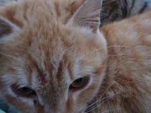 Vermelho bonito com o gato brilhante das listras Os olhos de Brown limpam para baixo imagens de stock
