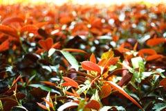 Vermelho bonito e luz do sol verdes e alaranjados do  do 〠Imagem de Stock Royalty Free