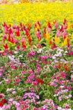 Vermelho bonito, roxo, bonito, planta, rosa, amarelo, branco, flor Fotografia de Stock