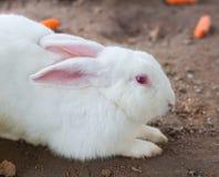 Vermelho branco do coelho e do olho Fotos de Stock Royalty Free