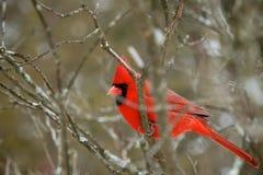 Vermelho chocante Fotos de Stock Royalty Free