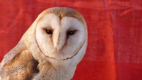 Vermelho claro do habitat da proteção animal de Owl Face Closeup Sunset Soft fotografia de stock