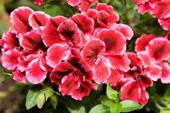 Vermelho com a flor branca do pelargonium da beira grande-floresceu o close-up na luz solar fotografia de stock royalty free